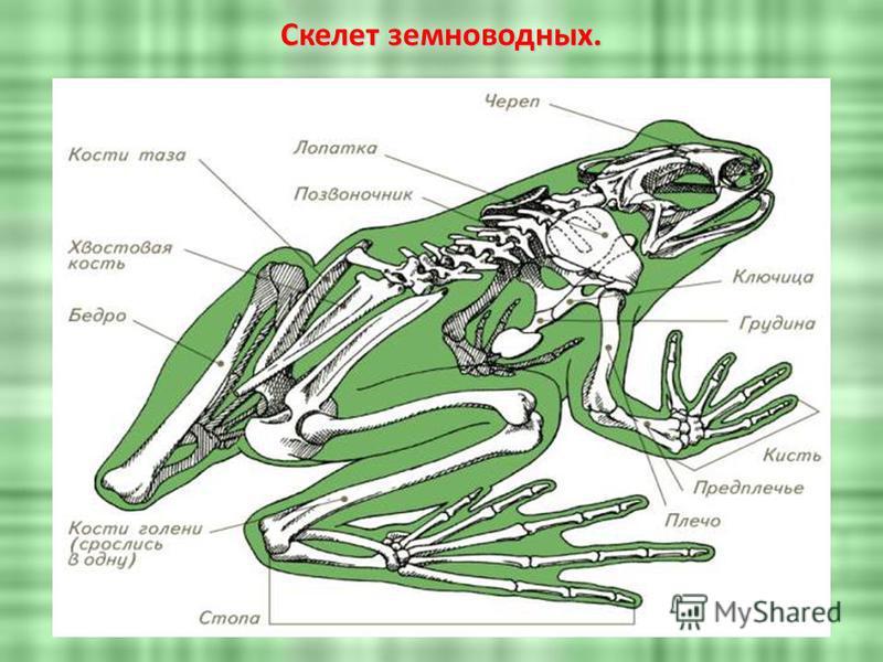 Скелет земноводных.