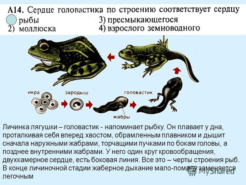 Личинка лягушки – головастик - напоминает рыбку. Он плавает у дна, проталкивая себя вперед хвостом, обрамленным плавником и дышит сначала наружными жабрами, торчащими пучками по бокам головы, а позднее внутренними жабрами. У него один круг кровообращ