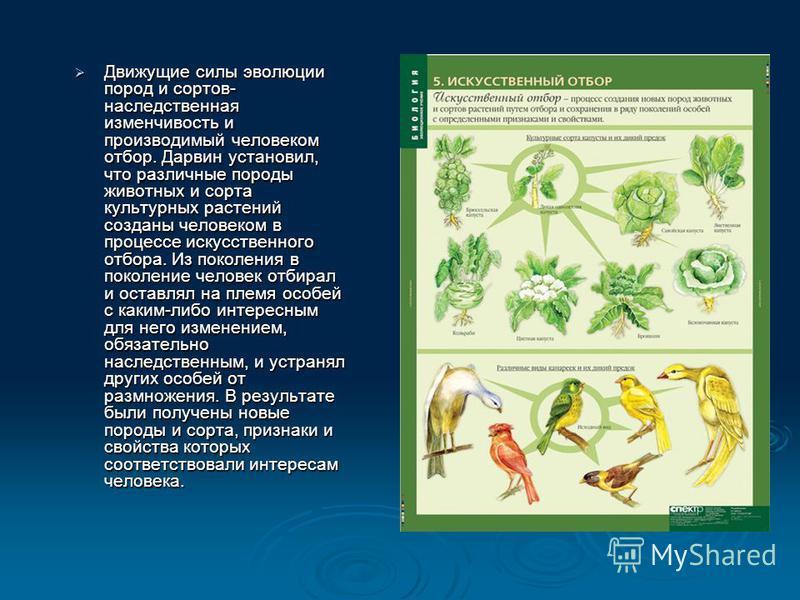 Движущие силы эволюции пород и сортов- наследственная изменчивость и производимый человеком отбор. Дарвин установил, что различные породы животных и сорта культурных растений созданы человеком в процессе искусственного отбора. Из поколения в поколени