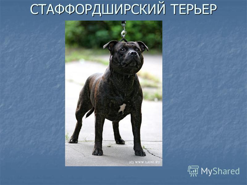 СТАФФОРДШИРСКИЙ ТЕРЬЕР