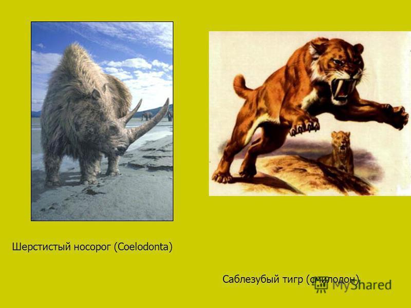 Саблезубый тигр (смилодон) Шерстистый носорог (Coelodonta)