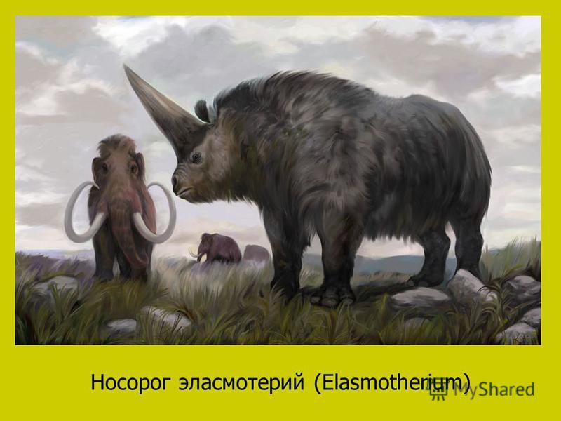 Носорог эласмотерий (Elasmotherium)
