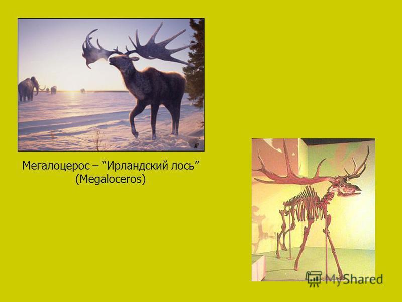 Мегалоцерос – Ирландский лось (Megaloceros)