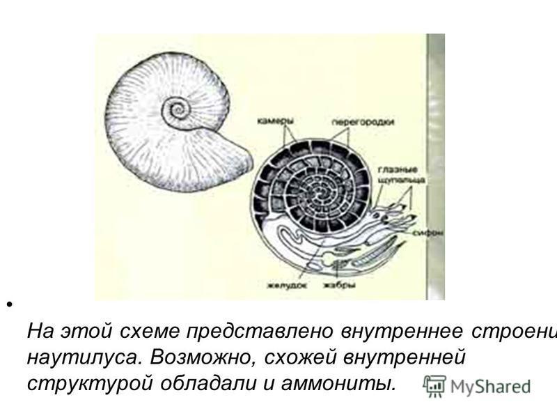 На этой схеме представлено внутреннее строение наутилуса. Возможно, схожей внутренней структурой обладали и аммониты.