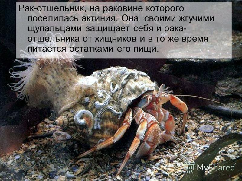 Рак-отшельник, на раковине которого поселилась актиния. Она своими жгучими щупальцами защищает себя и рака- отшельника от хищников и в то же время питается остатками его пищи.