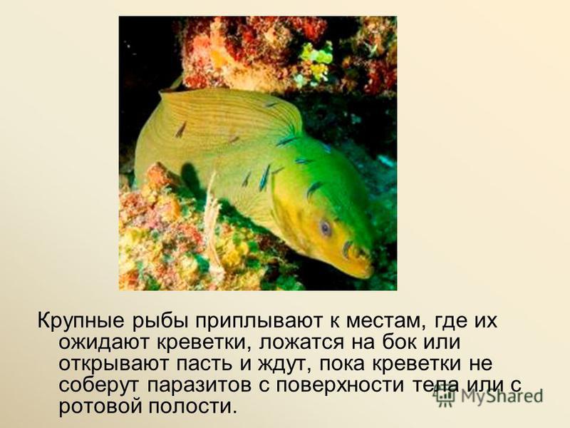 Крупные рыбы приплывают к местам, где их ожидают креветки, ложатся на бок или открывают пасть и ждут, пока креветки не соберут паразитов с поверхности тела или с ротовой полости.