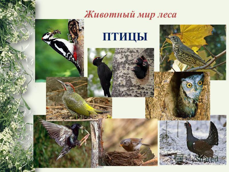 Животный мир леса ПТИЦЫ