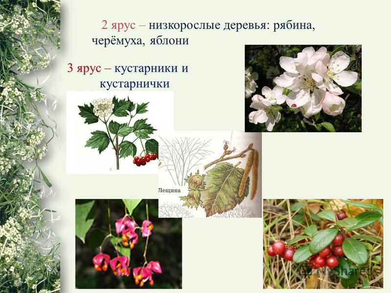 2 ярус – низкорослые деревья: рябина, черёмуха, яблони 3 ярус – кустарники и кустарнички