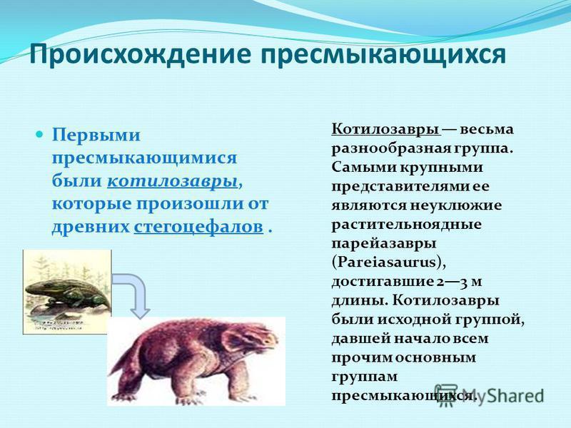 Происхождение пресмыкающихся Первыми пресмыкающимися были котилозавры, которые произошли от древних стегоцефалов. Котилозавры весьма разнообразная группа. Самыми крупными представителями ее являются неуклюжие растительноядные парейазавры (Pareiasauru