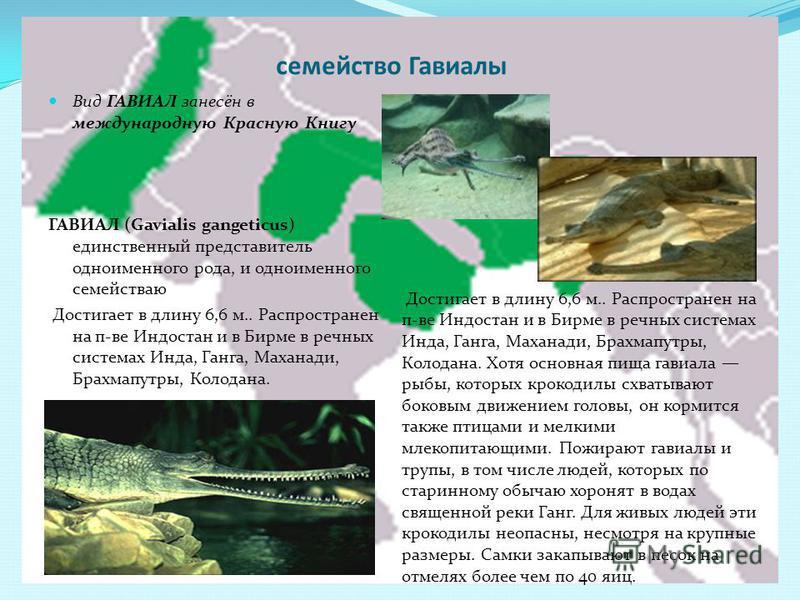 семейство Гавиалы Вид ГАВИАЛ занесён в международную Красную Книгу ГАВИАЛ (Gavialis gangeticus) единственный представитель одноименного рода, и одноименного семействаю Достигает в длину 6,6 м.. Распространен на пиве Индостан и в Бирме в речных систем