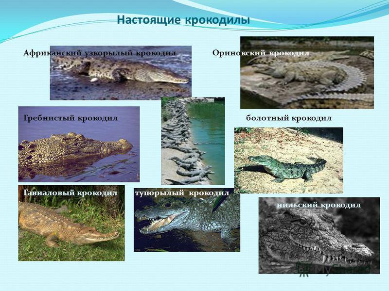 Настоящие крокодилы Африканский узкорылый крокодил Оринокский крокодил Гребнистый крокодил болотный крокодил Гавиаловый крокодил тупорылый крокодил нильский крокодил
