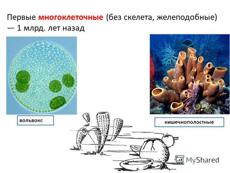 Первые многоклеточные (без скелета, желеподобные) 1 млрд. лет назад вольвокс кишечнополостные
