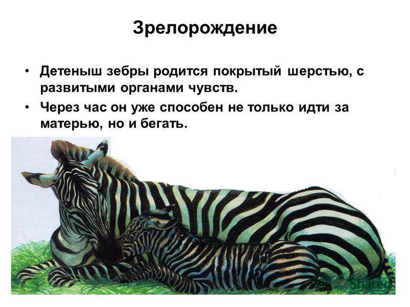Зрелорождение Детеныш зебры родится покрытый шерстью, с развитыми органами чувств. Через час он уже способен не только идти за матерью, но и бегать.