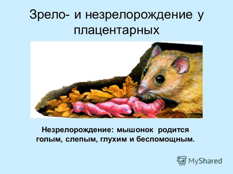 Зрело- и не зрело рождение у плацентарных Незрелорождение: мышонок родится голым, слепым, глухим и беспомощным.