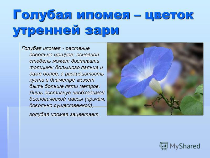 Голубая ипомея – цветок утренней зари Голубая ипомея - растение довольно мощное: основной стебель может достигать толщины большого пальца и даже более, а раскидистость куста в диаметре может быть больше пяти метров. Лишь достигнув необходимой биологи