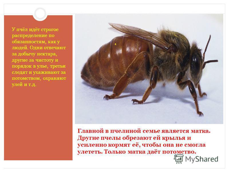 Главной в пчелиной семье является матка. Другие пчелы обрезают ей крылья и усиленно кормят её, чтобы она не смогла улететь. Только матка даёт потомство. У пчёл идёт строгое распределение по обязанностям, как у людей. Одни отвечают за добычу нектара,