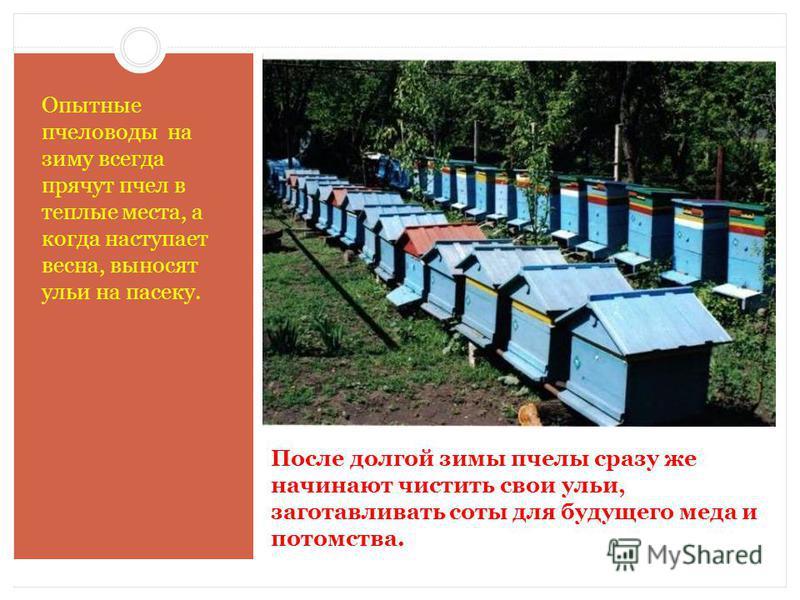 После долгой зимы пчелы сразу же начинают чистить свои ульи, заготавливать соты для будущего меда и потомства. Опытные пчеловоды на зиму всегда прячут пчел в теплые места, а когда наступает весна, выносят ульи на пасеку.