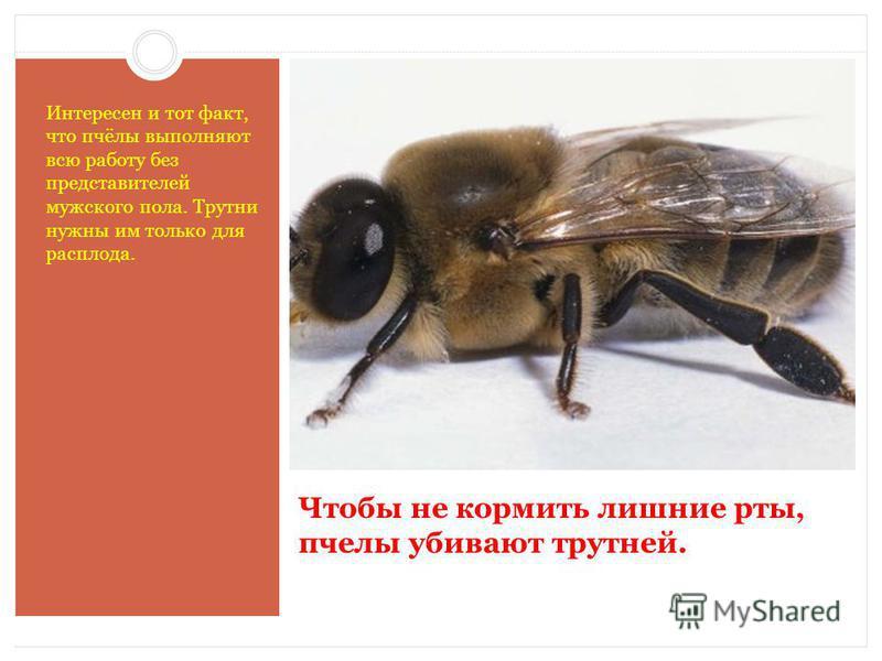 Чтобы не кормить лишние рты, пчелы убивают трутней. Интересен и тот факт, что пчёлы выполняют всю работу без представителей мужского пола. Трутни нужны им только для расплода.