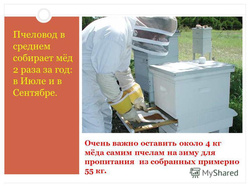 Очень важно оставить около 4 кг мёда самим пчелам на зиму для пропитания из собранных примерно 55 кг. Пчеловод в среднем собирает мёд 2 раза за год: в Июле и в Сентябре.