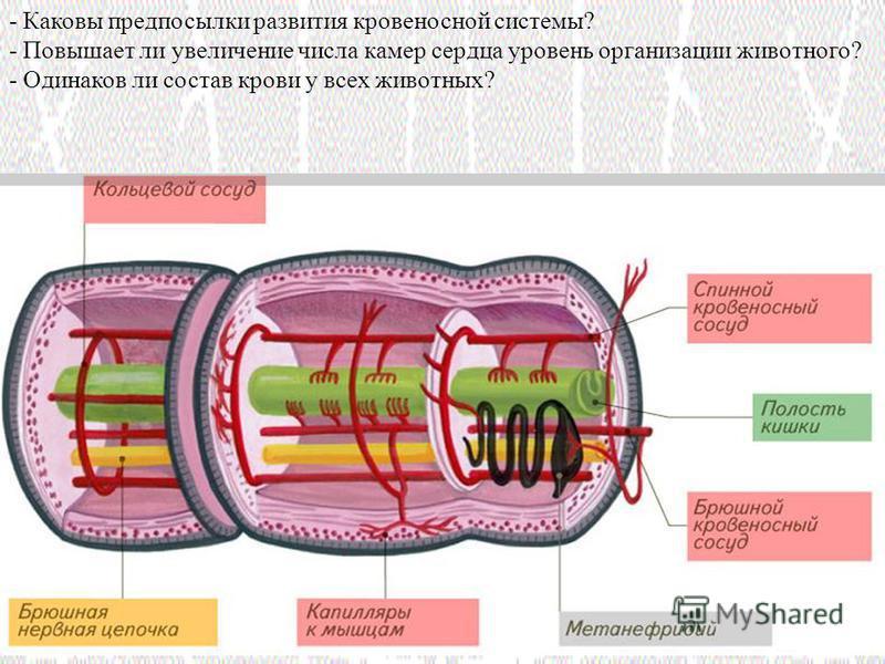 - Каковы предпосылки развития кровеносной системы? - Повышает ли увеличение числа камер сердца уровень организации животного? - Одинаков ли состав крови у всех животных?