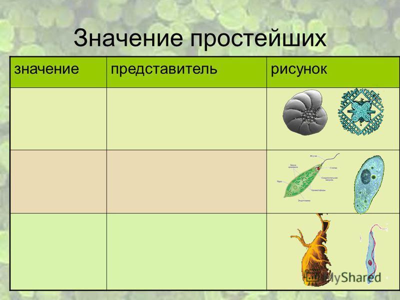 Представитель Простейших фото