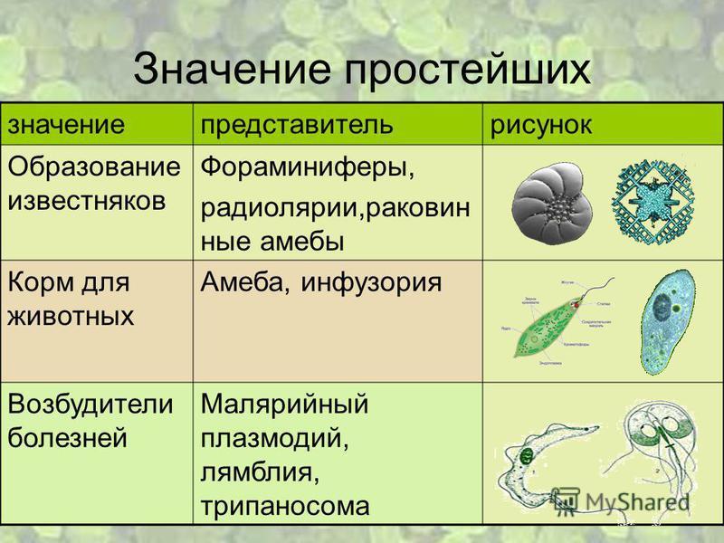 Значение простейших значение представитель рисунок Образование известняков Фораминиферы, радиолярии,раковинные амебы Корм для животных Амеба, инфузория Возбудители болезней Малярийный плазмодий, лямблия, трипаносома