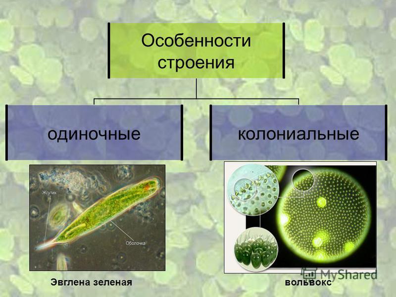 Особенности строения одиночные колониальные вольвокс Эвглена зеленая