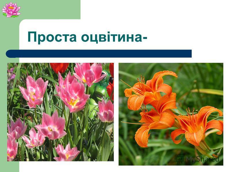 Проста оцвітина Пелюстки Має тільки пелюстки або чашолистики.