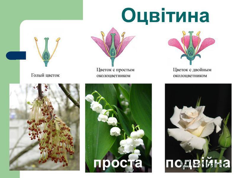 Проста оцвітина-