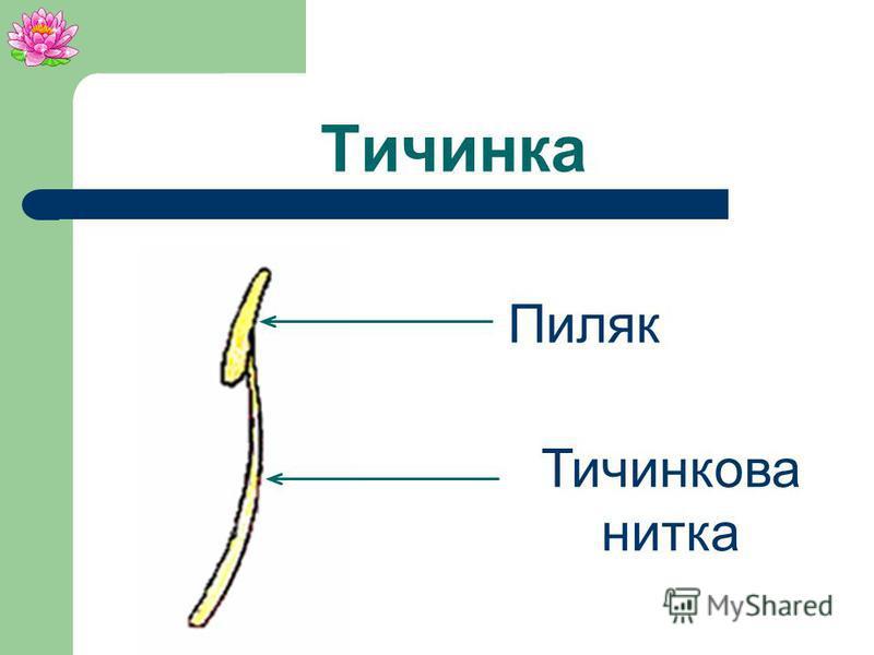 Маточка Приймочка Стовпчик Зав`язь