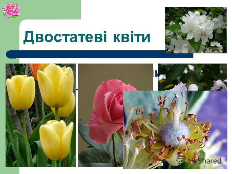 Квітка двостатеваодностатева