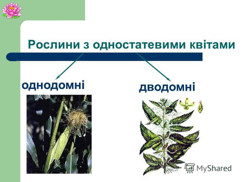 Тичинкові квіти Верба Маточкові квіти