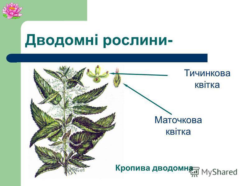 Дводомні рослини- Рослини у яких маточкові квіти розвиваються на одній рослині, а тичинкові на іншій.