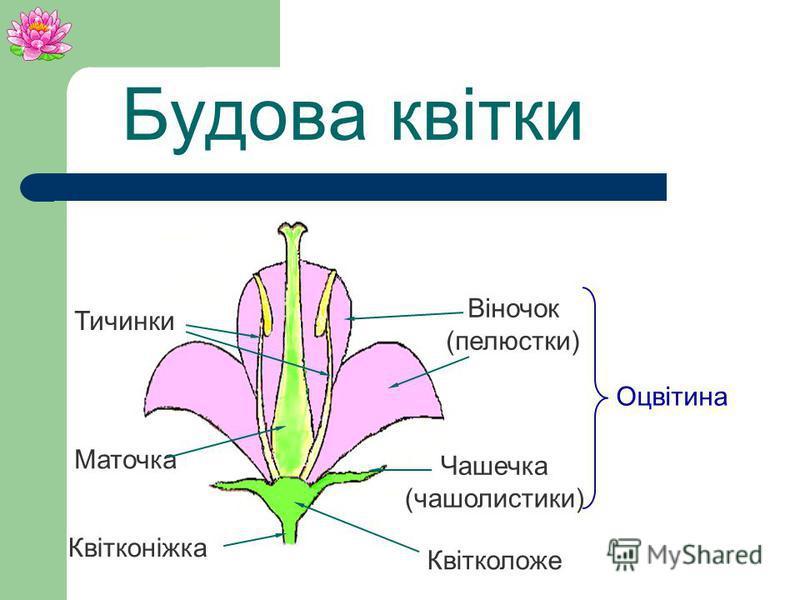 Рослини родини ряскових, діаметр квітки близько 1 мм.