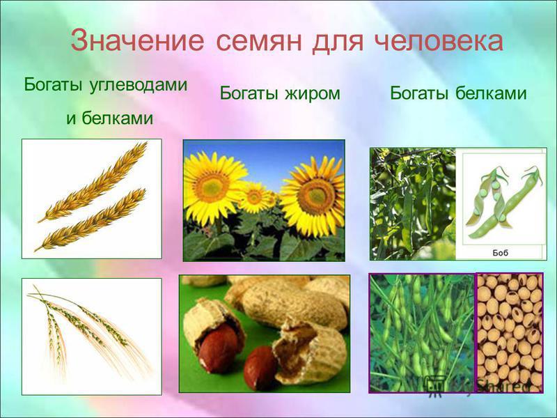 Значение семян для человека Богаты углеводами и белками Богаты жиром Богаты белками