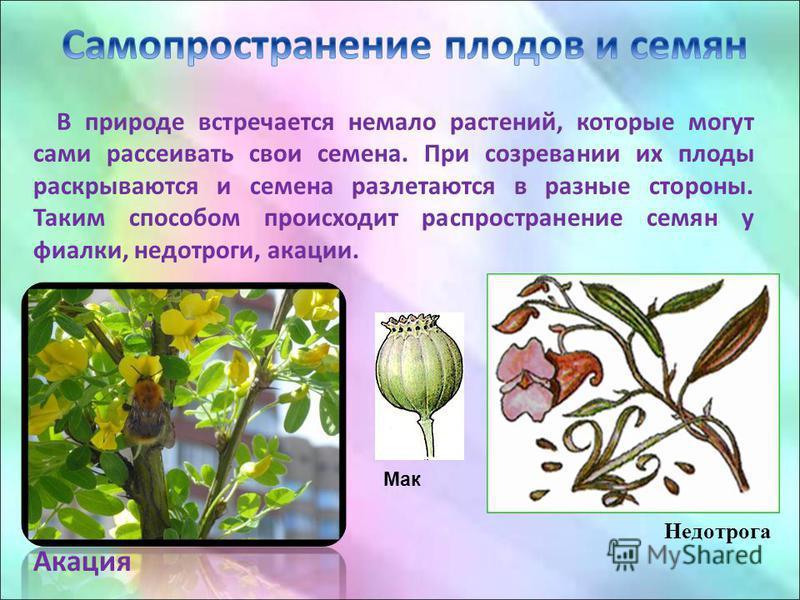 В природе встречается немало растений, которые могут сами рассеивать свои семена. При созревании их плоды раскрываются и семена разлетаются в разные стороны. Таким способом происходит распространение семян у фиалки, недотроги, акации. Акация Недотрог