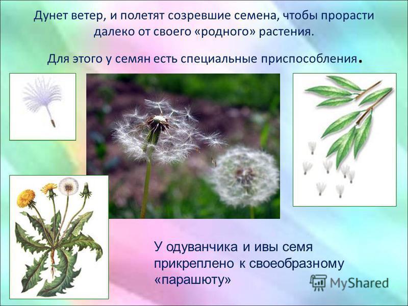 Дунет ветер, и полетят созревшие семена, чтобы прорасти далеко от своего «родного» растения. Для этого у семян есть специальные приспособления. У одуванчика и ивы семя прикреплено к своеобразному «парашюту»