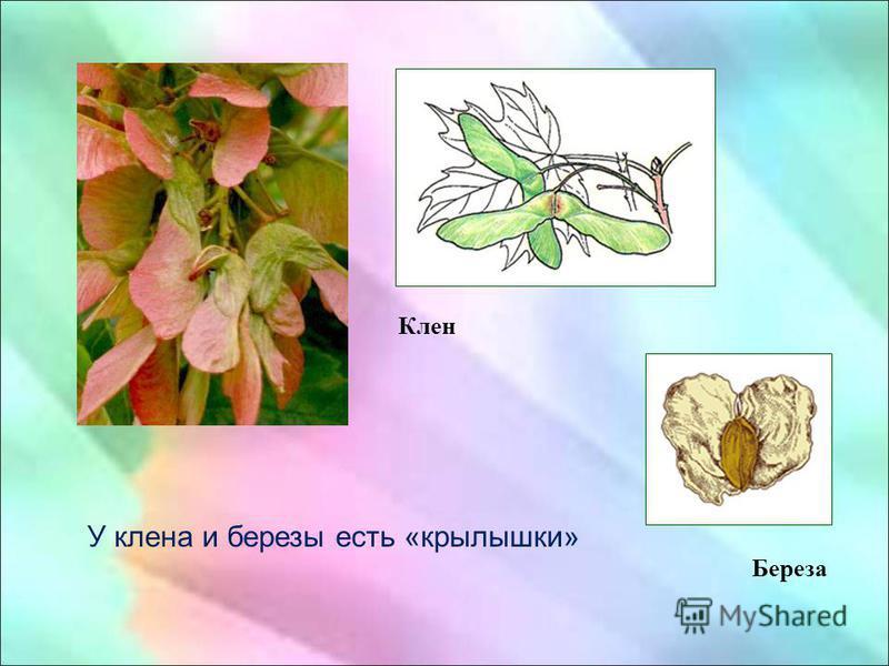 У клена и березы есть «крылышки» Клен Береза