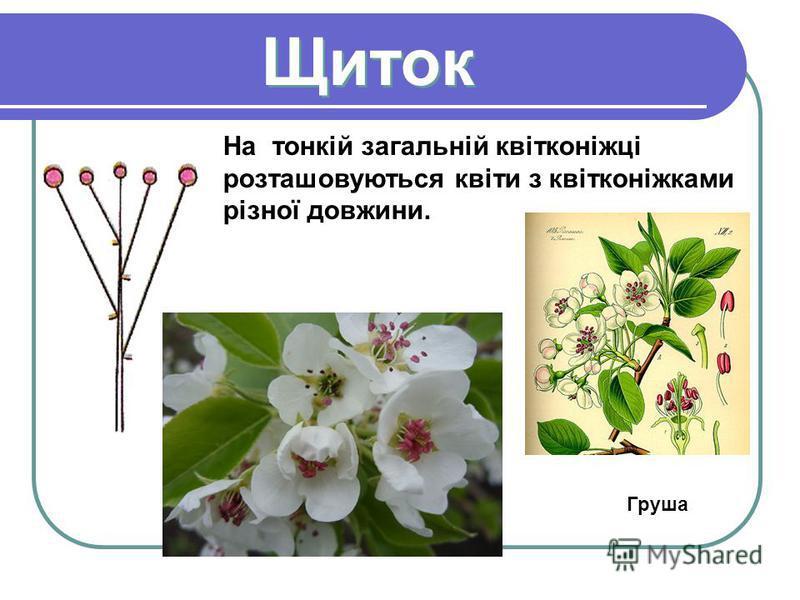 Щиток Щиток На тонкій загальній квітконіжці розташовуються квіти з квітконіжками різної довжини. Груша