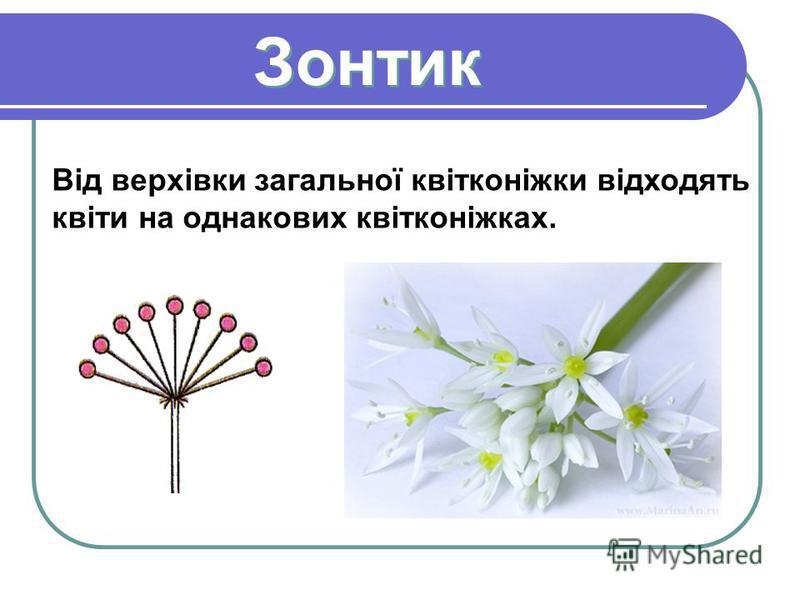 Зонтик Зонтик Від верхівки загальної квітконіжки відходять квіти на однакових квітконіжках.