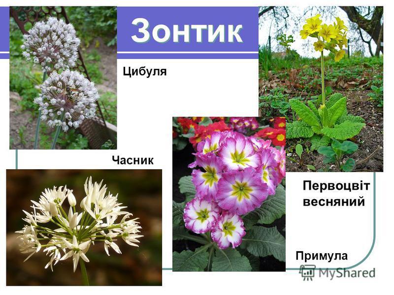 Примула Первоцвіт весняний Цибуля Часник