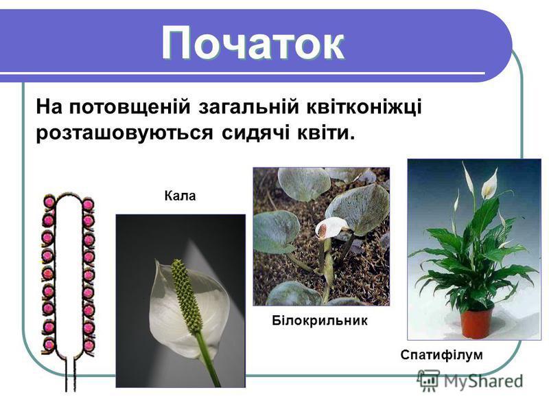 Початок Початок На потовщеній загальній квітконіжці розташовуються сидячі квіти. Кала Білокрильник Спатифілум