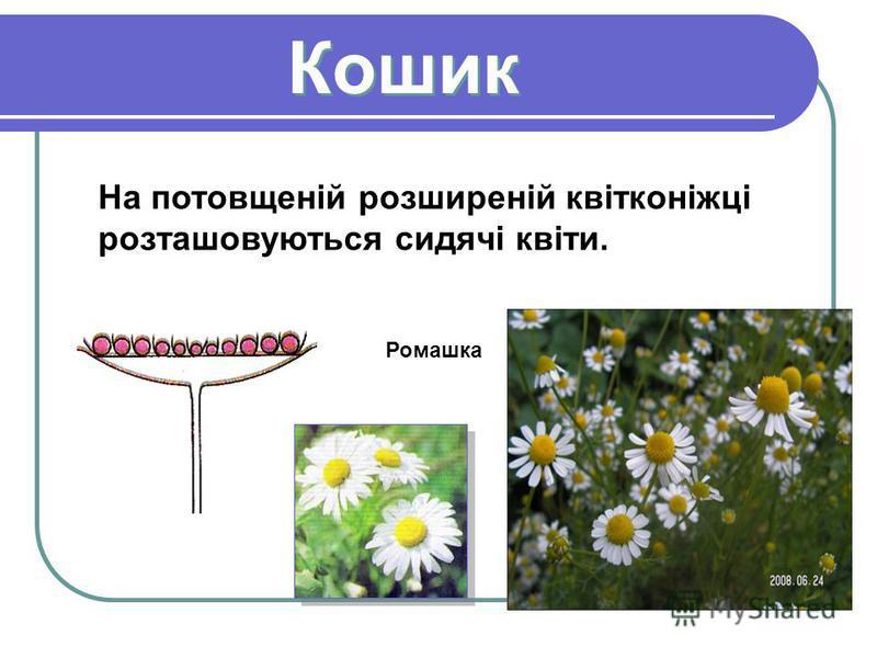 Кошик Кошик На потовщеній розширеній квітконіжці розташовуються сидячі квіти. Ромашка