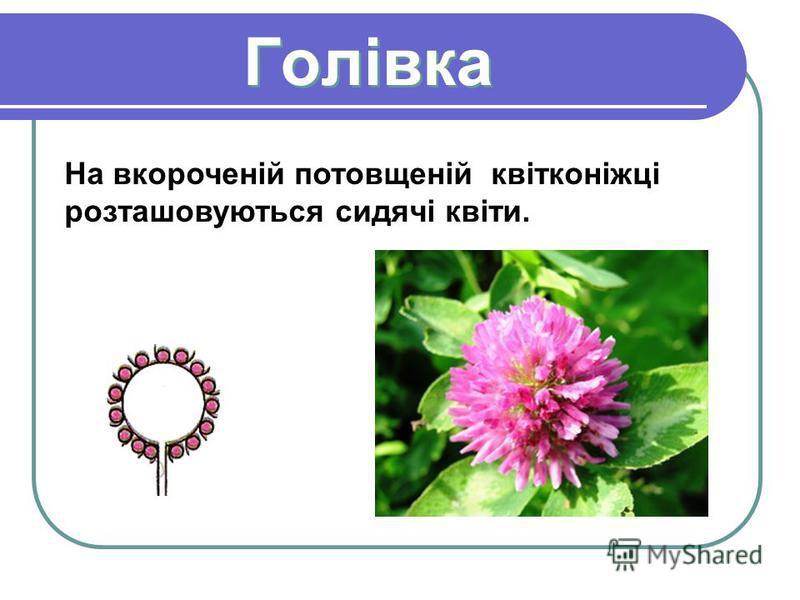 Голівка Голівка На вкороченій потовщеній квітконіжці розташовуються сидячі квіти.