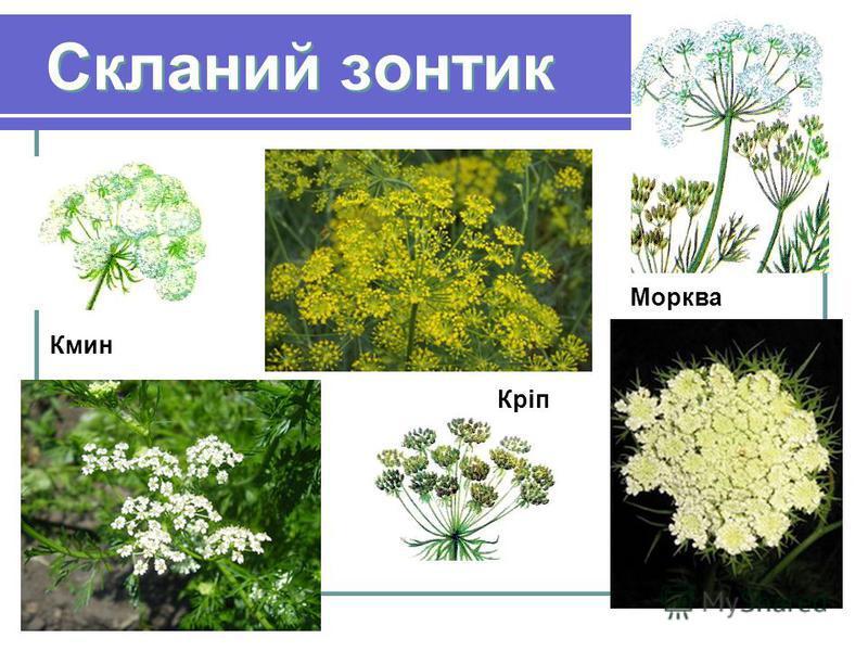 Скланий зонтик Кріп Морква Кмин