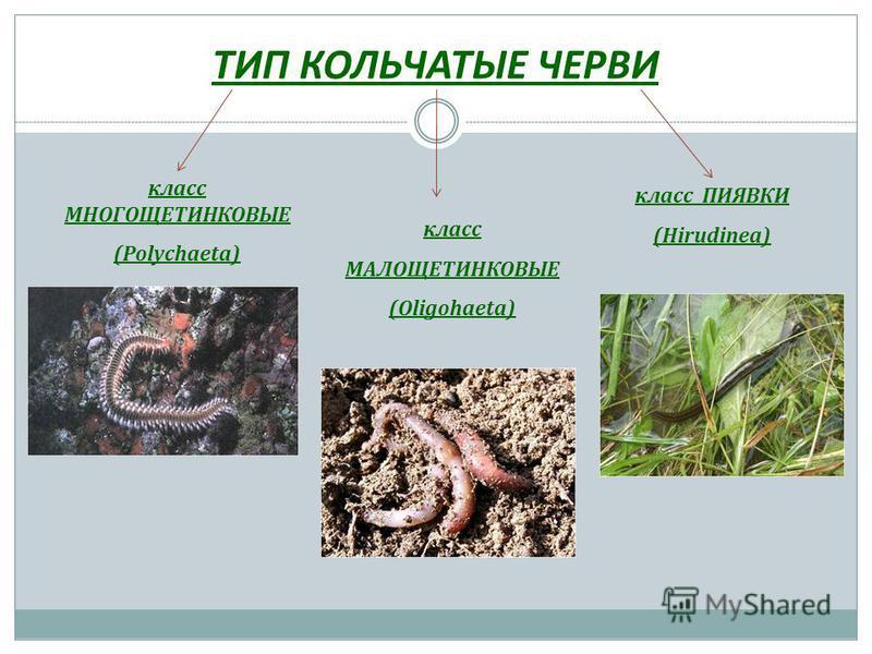 ТИП КОЛЬЧАТЫЕ ЧЕРВИ класс МНОГОЩЕТИНКОВЫЕ (Polychaeta) класс МАЛОЩЕТИНКОВЫЕ (Oligohaeta) класс ПИЯВКИ (Hirudinea)
