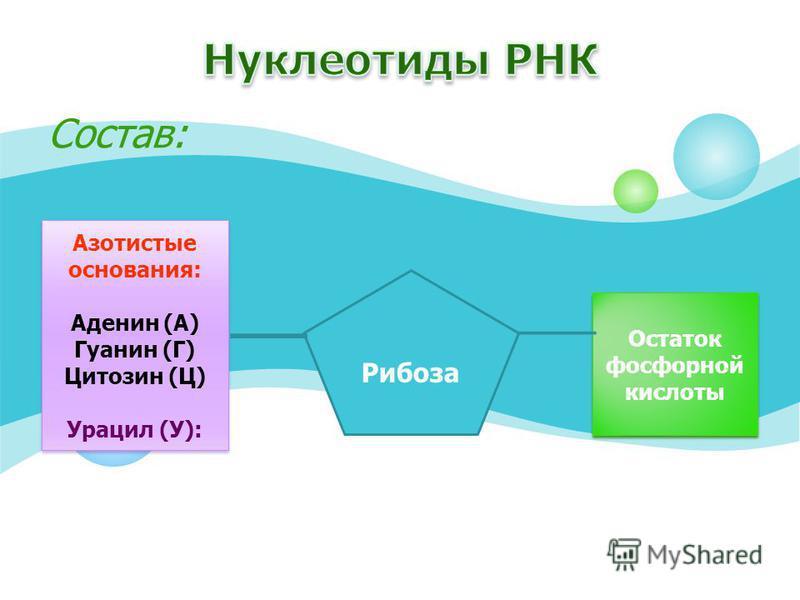 Состав: Азотистые основания: Аденин (А) Гуанин (Г) Цитозин (Ц) Урацил (У): Азотистые основания: Аденин (А) Гуанин (Г) Цитозин (Ц) Урацил (У): Рибоза Остаток фосфорной кислоты Остаток фосфорной кислоты