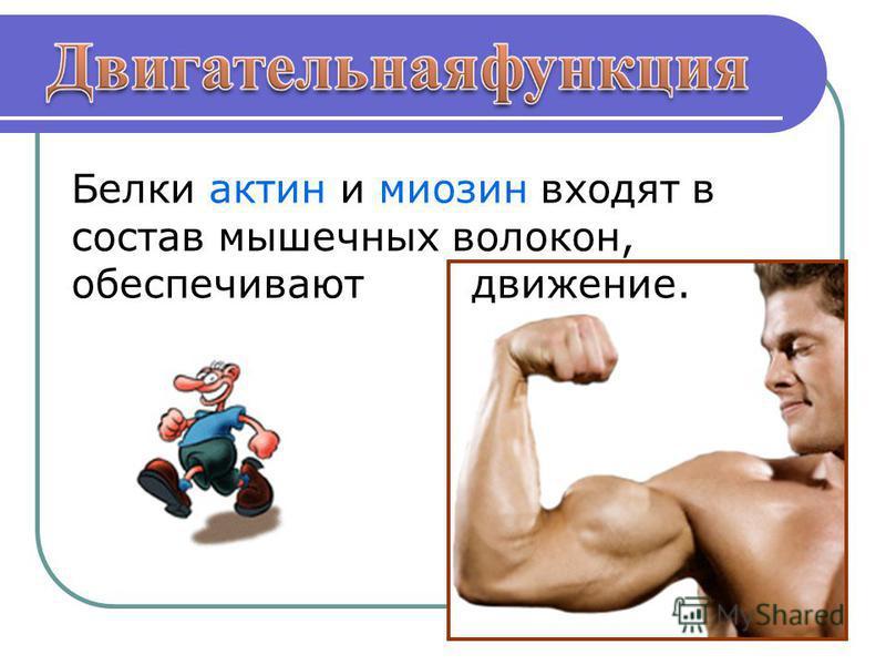 Белки актин и миозин входят в состав мышечных волокон, обеспечивают движение.