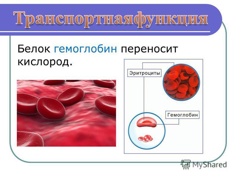 Белок гемоглобин переносит кислород.