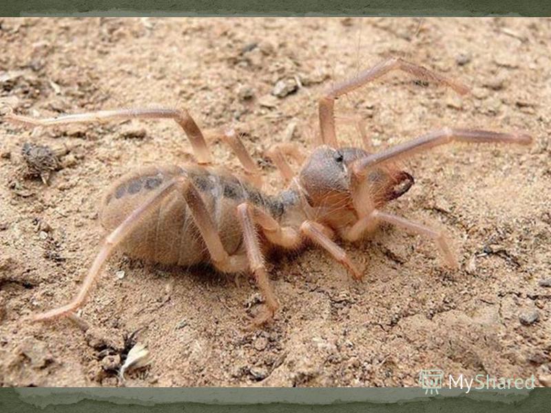 Фаланги крупные паукообразные (5-7 см) Их тело и конечности покрыты волосками. Ночные хищники: питаются термитами, жуками, ящерицы.